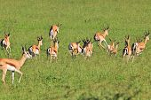 Springbok - Wildlife Background from Africa - Herd on the Move