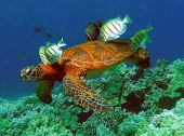 image of sea-turtles  - Green sea turtle cleaning station on coral reef - JPG