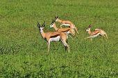 Springbok - Wildlife Background from Africa - Jump with joy
