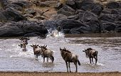 Wildebeests Herd Crossing Mara River