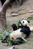 giant panda smelling bamboo leaves