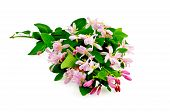 pic of honeysuckle  - Lush honeysuckle branches with pink flowers and green leaves isolated on white background  - JPG