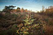Spruce Tree On Marsh In Autumn