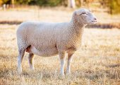 image of suffolk sheep  - a female white suffolk sheep standing in a field