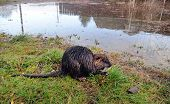 Nutria after a flood