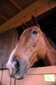 stock photo of stable horse  - NAPAVINE - JPG