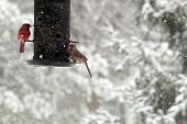 picture of cardinal-bird  - Cardinals eat from a bird feeder in a Missouri backyard. ** Note: Soft Focus at 100%, best at smaller sizes - JPG