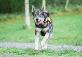 Swedish Elkhound