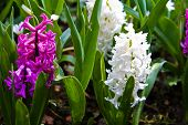 Hyacinth Flowers.  Spring Flowers