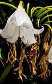 picture of trumpet flower  - white spring trumpet flower in full bloom - JPG