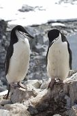 Male And Female Antarctic Penguin Chinstrap Or Standing Near The Nesting Site