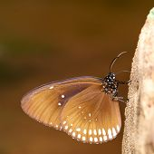 Long Branded Blue Crow (euploea Algea) Butterfly