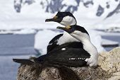 Pair Of Blue-eyed Antarctic Shags Sitting In The Nest