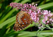 Copper Butterfly On Purple Flower
