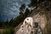Havanese On The Mountain