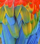 Macaw feather closeup a