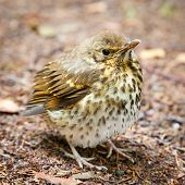 foto of brown thrush  - Throstle fledgling song thrush on forest ground - JPG