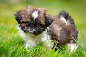 Shih tzu puppy playing in the garden