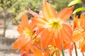 orange Lycoris Amaryllis