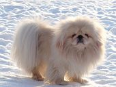 White Pekingese On White Snow