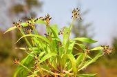 Hairy Wood-rush (luzula Pilosa)