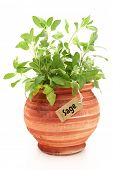 Fresh sage plant in a clay pot