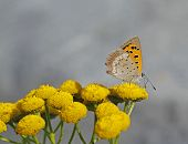 stock photo of tansy  - Small Copper Lycaena phlaeas on tansy Tanacetum vulgare in Archipelago national park in Finland - JPG