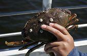 Child holding crab
