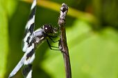 Dragonfly Devouring An Insect