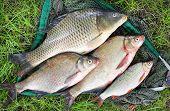Catching fish. The Common Carp (Cyprinus Carpio), Common Bream (Abramis brama), Common Roach (Rutilus rutilus).