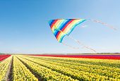 Flying kite and beautiful yellow, red tulip fields