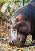 stock photo of behemoth  - Portrait of  eating hippopotamus  in the zoo in Vienna - JPG
