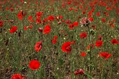 Poppy (Papáver) field and thorn