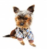 Beautiful brown cute Yorkshire Terrier in pullover