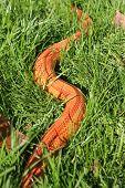 Albino Snake - Grass Snake - Ringelnatter on grass