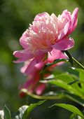 one rose peony