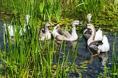Geese Swimming In Swamp