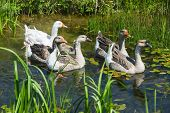 Group Of Geese In Swamp