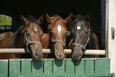 Three Beautiful Thoroughbred Horses At The Barn Door