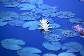 Lily flowers on water surface. Soft blue tint.