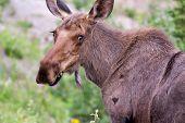 Moose Closeup