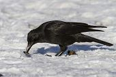 Carrion Crow That Eats Molluscs