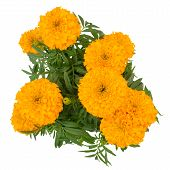 Marigold On Tree Isolated On White Background