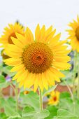Closeup Sunflower
