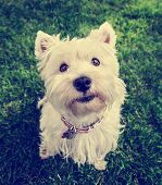 a cute westie - west highland terrier - at a local park or backyard toned with a vintage retro instagram filter effect