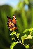 pic of monarch butterfly  - A monarch butterfly sitting on a green leaf - JPG