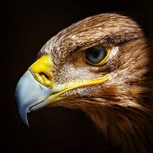 Golden Eagle Close Up Portrait
