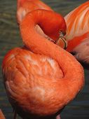 foto of red-necked  - beautiful red flamingo with crooked long neck  - JPG