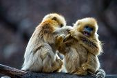 Two little golden monkey catching lice