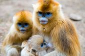 Golden Monkey Family